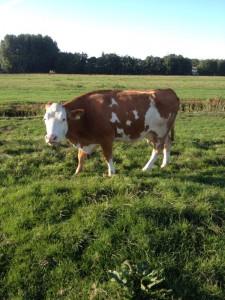 Dubbeldoel koe